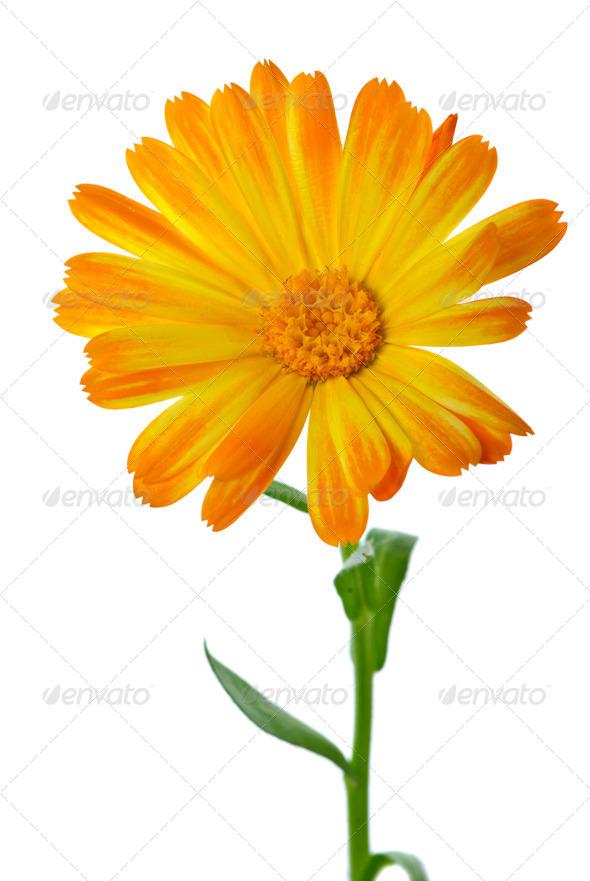 Calendula flower - Stock Photo - Images