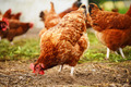 Traditional free range poultry farming - PhotoDune Item for Sale