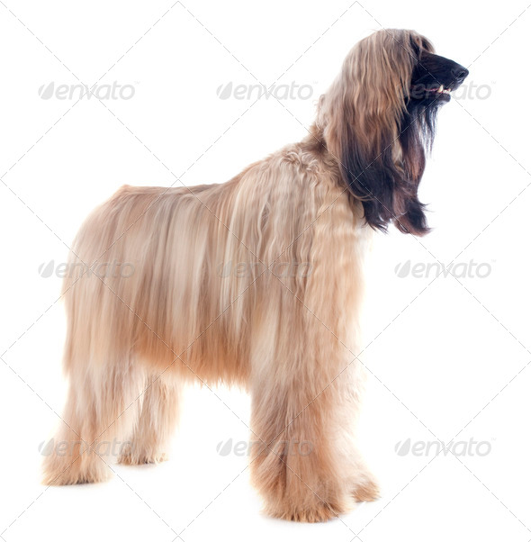afghan dog - Stock Photo - Images