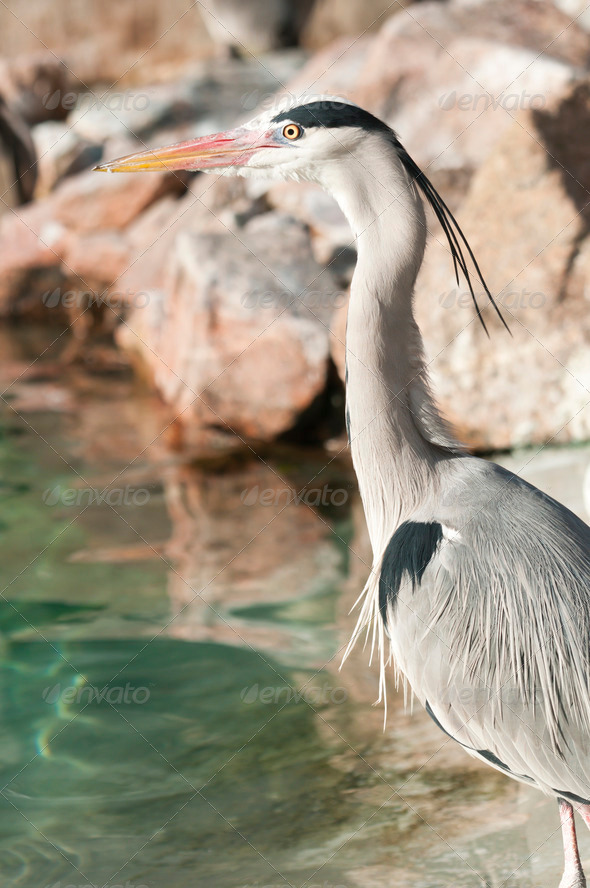 Gray Heron, Ardea cinerea - Stock Photo - Images