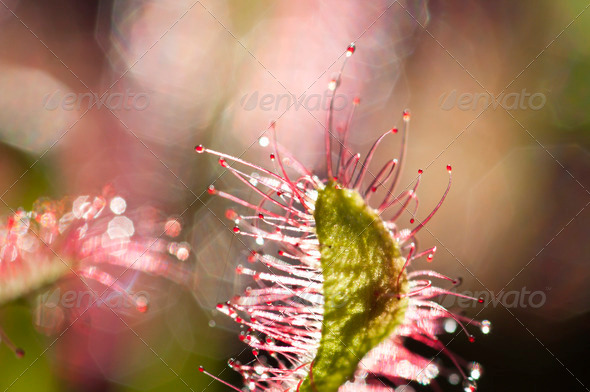 Cape sundew Carnovorous Plant - Stock Photo - Images