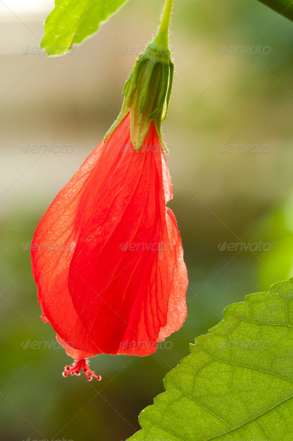 Turk's Cap Mallow Red Flower - Stock Photo - Images