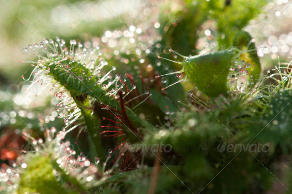 Cape Sundew Carnivorous Plant - Stock Photo - Images