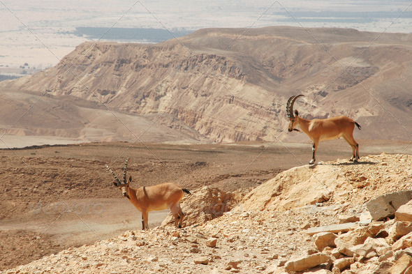 Ibexes on the cliff. - Stock Photo - Images