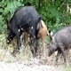 Wild Pigs 2 - VideoHive Item for Sale