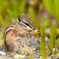 Least Chipmunk Tamias minimus foraging dandelions - PhotoDune Item for Sale