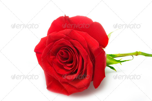 rose isolated over white - Stock Photo - Images