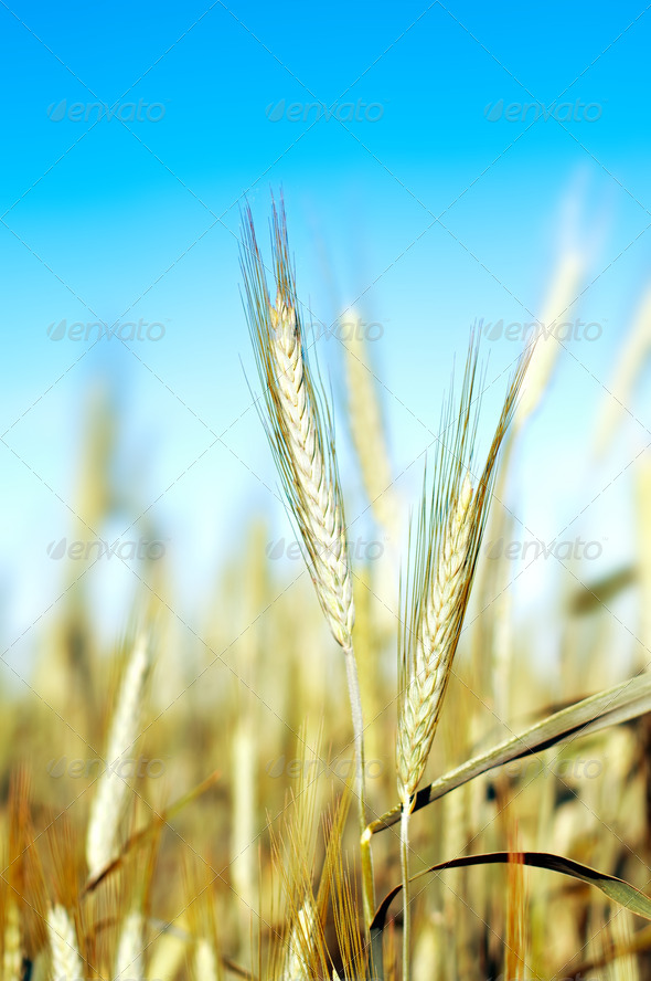 wheat over blue sky - Stock Photo - Images