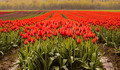 Field of Red Tulips - PhotoDune Item for Sale