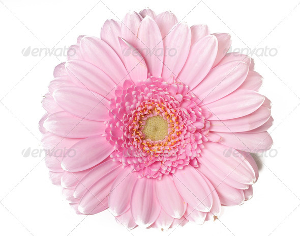 Pink Gerber Flower - Stock Photo - Images