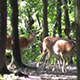 Fallow Deers - VideoHive Item for Sale