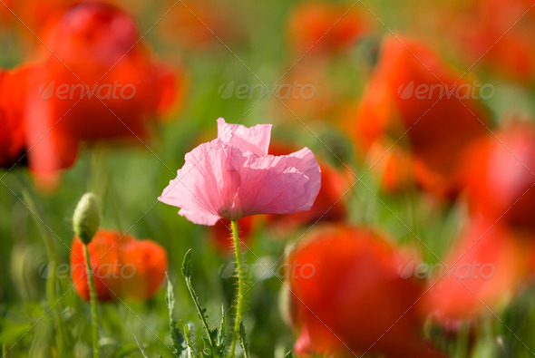 Pink Poppy - Stock Photo - Images