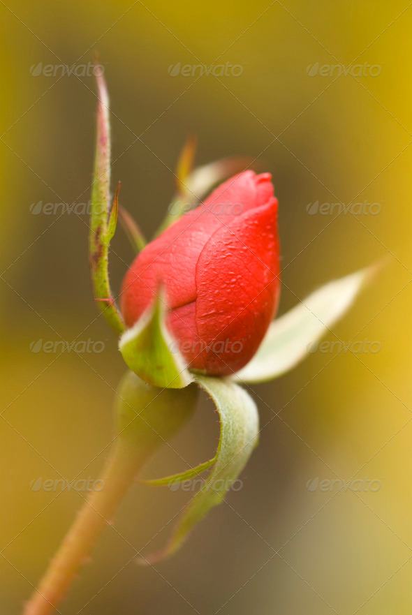 Red Rose Bud with Soft Yellow Bud - Stock Photo - Images