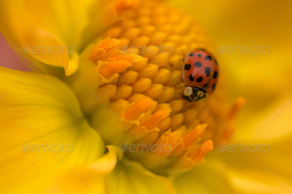 Ladybug on Yellow Flower - Stock Photo - Images