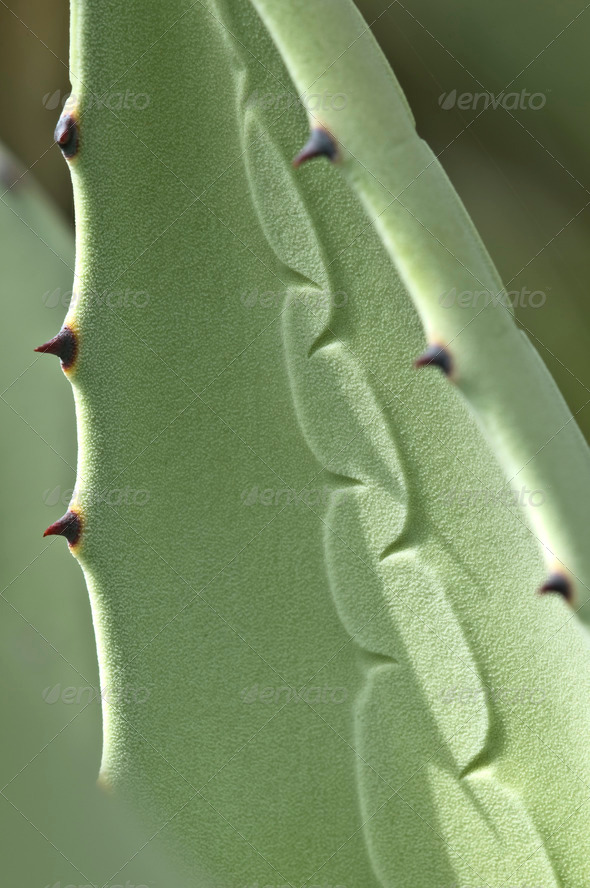 Agave Plant with Thorns - Stock Photo - Images