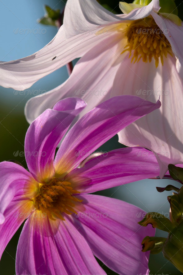 Dahlia Flowers - Stock Photo - Images