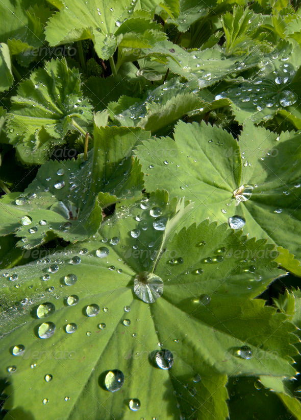 Rain Drops on Leaf - Stock Photo - Images