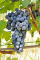 Red grape bunches, Nebbiolo variety, Italy. - PhotoDune Item for Sale