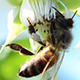 Bee Pollinate a Raspberry 2 - VideoHive Item for Sale