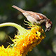 Sparrows Eating Sunflower Seeds 2 - VideoHive Item for Sale