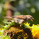 Sparrows Eating Sunflower Seeds 4 - VideoHive Item for Sale