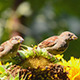 Sparrows Eating Sunflower Seeds 5 - VideoHive Item for Sale