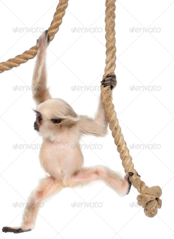 Young Pileated Gibbon - Stock Photo - Images
