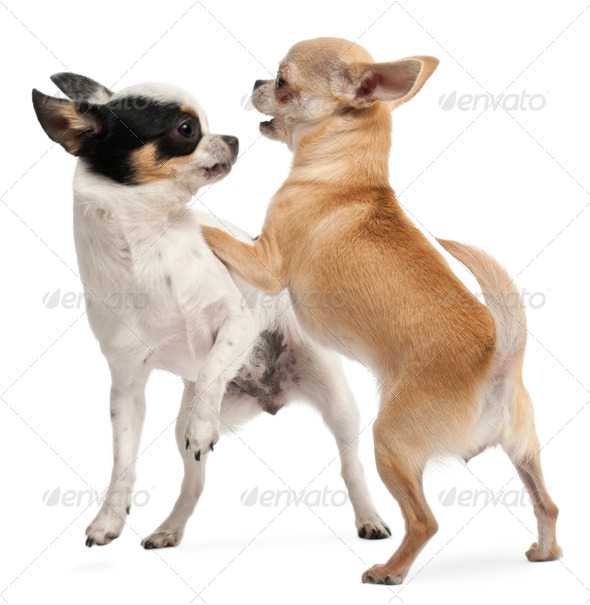 Two Chihuahuas playing in front of white background - Stock Photo - Images