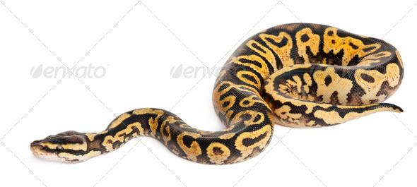 Female Pastel calico Python - Stock Photo - Images