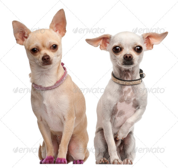 Two Chihuahuas, 2 years old and 11 months old, sitting in front of white background - Stock Photo - Images