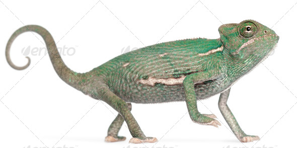 Young veiled chameleon, Chamaeleo calyptratus, in front of white background - Stock Photo - Images