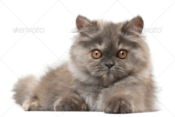 Persian kitten, 3 months old, lying in front of white background - Stock Photo - Images