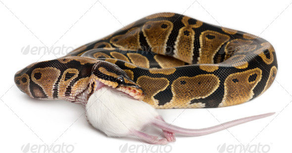 Python Royal python eating a mouse, ball python, Python regius, in front of white background - Stock Photo - Images
