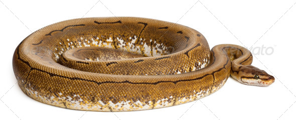 Spinner Python, Royal python, ball python, Python regius, 2 years old, in front of white background - Stock Photo - Images