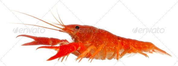 Blue crayfish - Stock Photo - Images