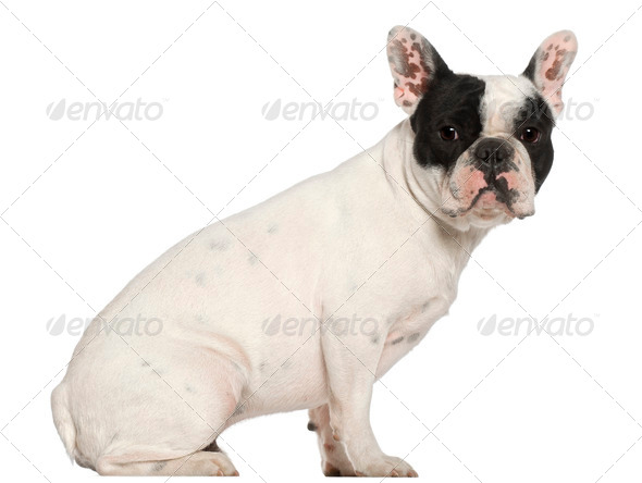 French Bulldog, 1 year old, sitting in front of white background - Stock Photo - Images