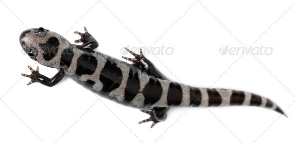 High angle view of Marbled Salamander, Ambystoma opacum, in front of white background - Stock Photo - Images