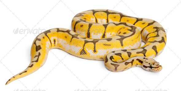 Female Killerbee Royal python, ball python, Python regius, 1 year old, in front of white background - Stock Photo - Images