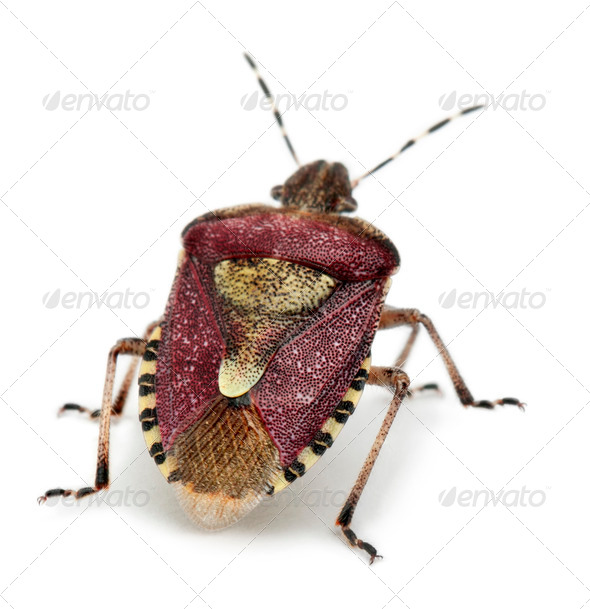 Shield bug, Dolycoris baccarum, in front of white background - Stock Photo - Images
