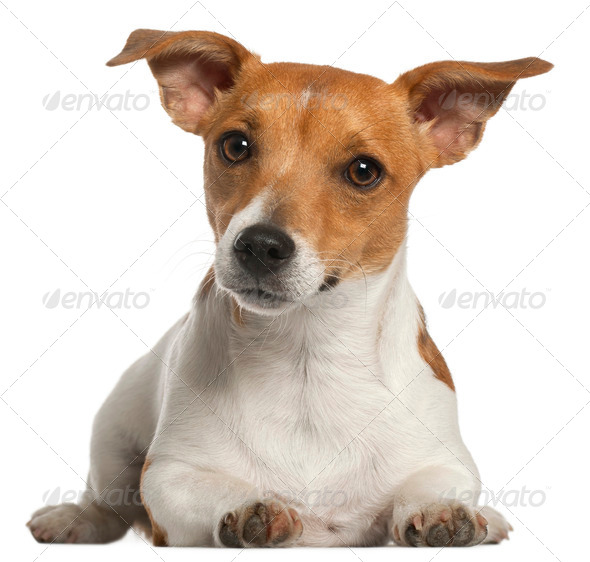 Jack Russell Terrier, 10 months old, lying in front of white background - Stock Photo - Images