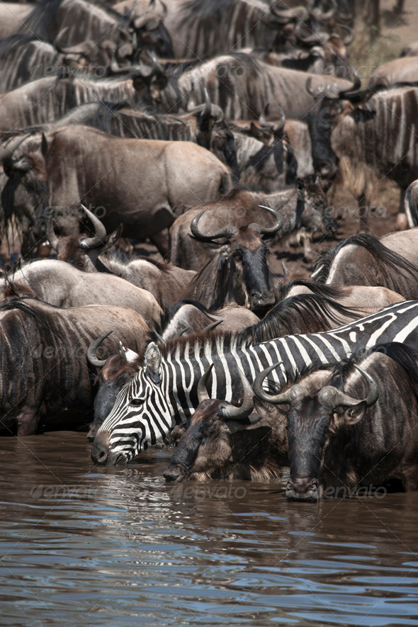 Wildebeest and Zebras at the Serengeti National Park, Tanzania, Africa - Stock Photo - Images
