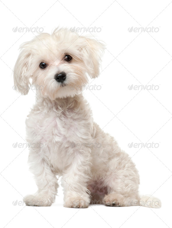 Maltese puppy, 6 months old, sitting in front of white background - Stock Photo - Images