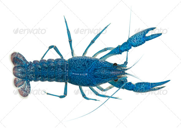 High angle view of Blue crayfish - Stock Photo - Images
