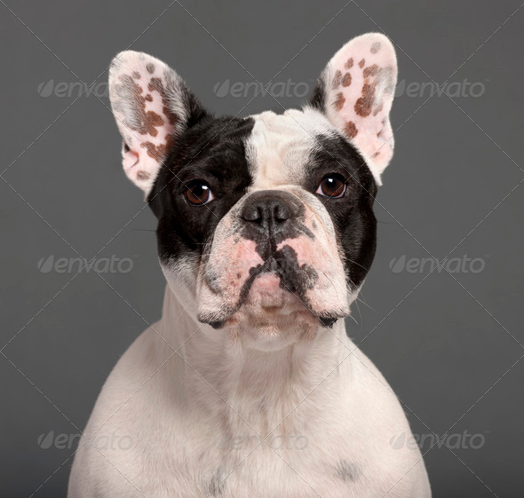 Close-up of French Bulldog, 1 year old, in front of grey background - Stock Photo - Images