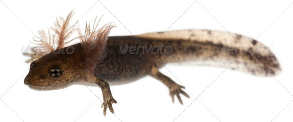 Fire salamander larva - Stock Photo - Images
