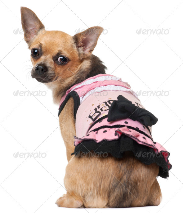 Chihuahua in pink dress, 12 months old, sitting in front of white background - Stock Photo - Images