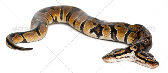 Two headed Royal Python or Ball Python, Python Regius, 1 year old, in front of white background - Stock Photo - Images