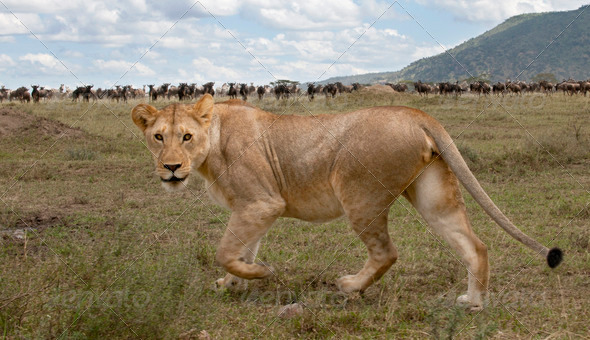 Lioness and herd of wildebeest at the Serengeti National Park, Tanzania, Africa - Stock Photo - Images