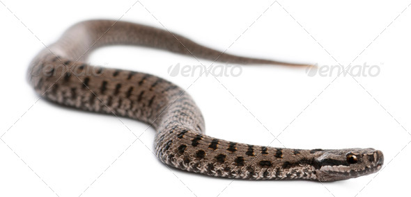 Common European adder or common European viper, Vipera berus, in front of white background - Stock Photo - Images