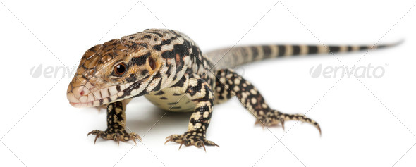 Blue Tegu, Tupinambis merianae, in front of white background - Stock Photo - Images